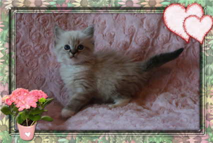 IMG_0426 seal lynx mitted girl pink collar_wedding-27