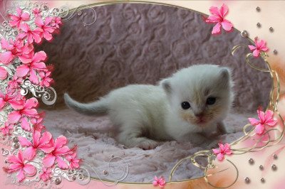 IMG_2338 tl blue mitted lynx_flower-18