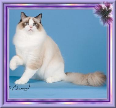 Retired Ragdoll Breeders | Rainbow Ragdolls Cattery